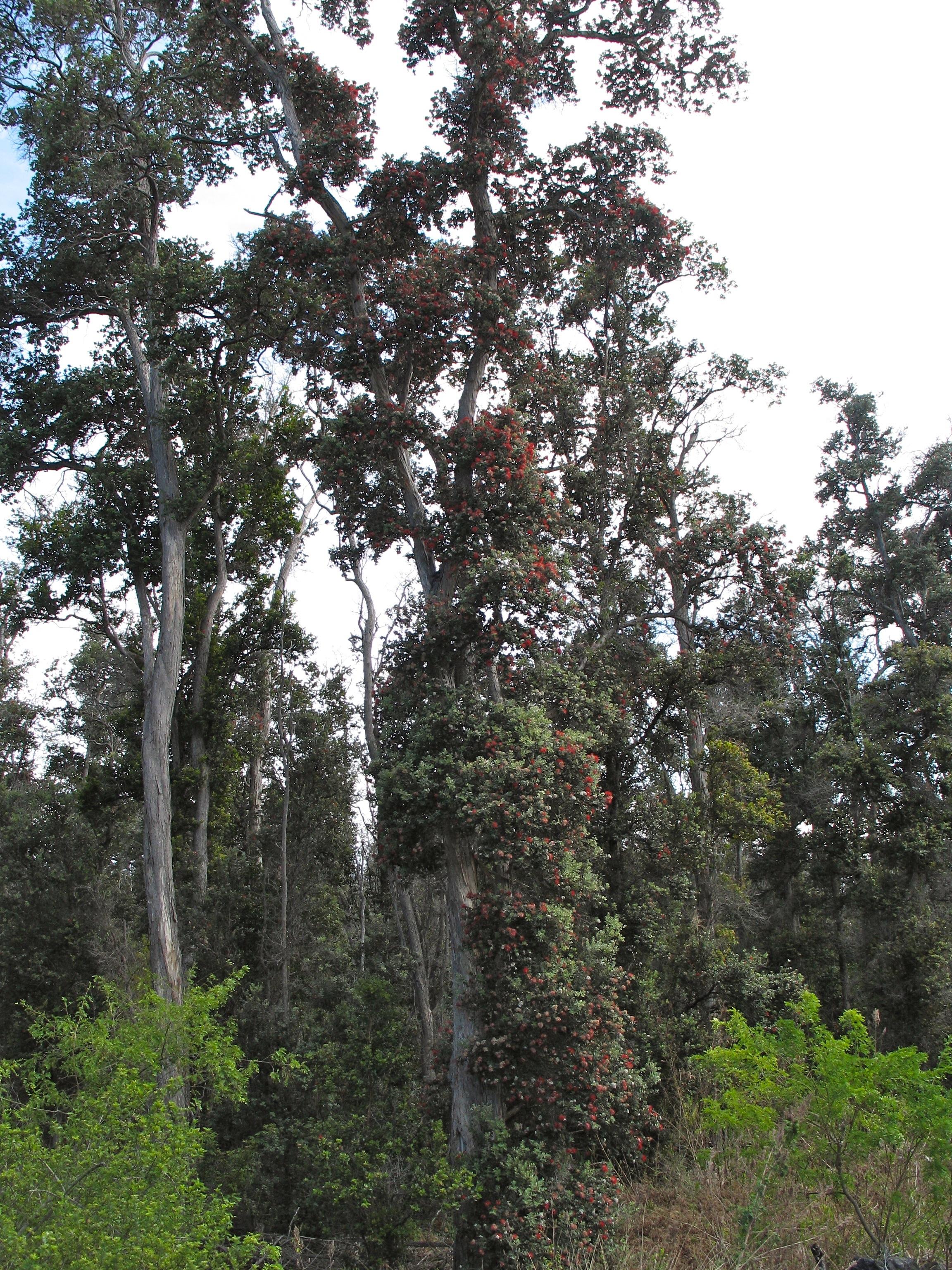 Ohia Tree Blossom Pictures Photographs Barren Lava
