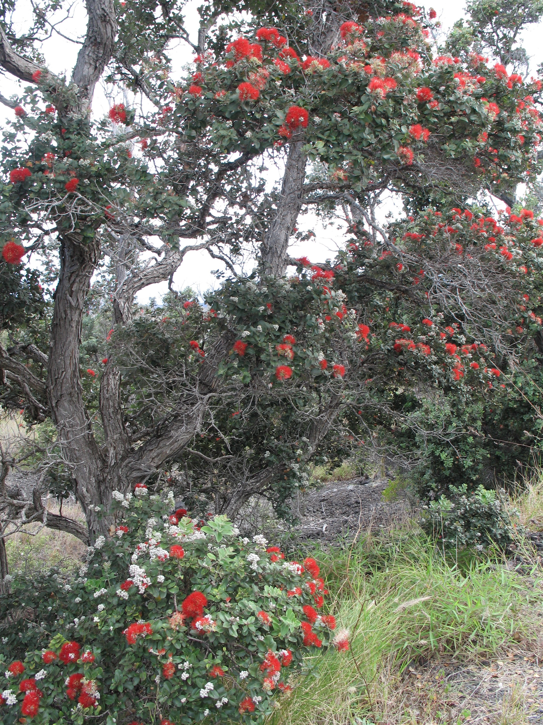 Ohia Tree Blossom Pictures Photographs Barren Lava